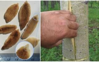 Лечение описторхоза корой осины