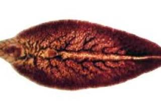 Внекишечные гельминтозы, тканевые гельминты