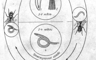 Лечение телязиоза (телязий) у человека
