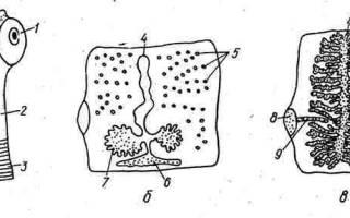 Бычий (невооруженный) цепень – тениаринхоз у человека