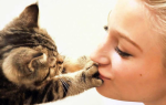 Передаются ли глисты от кошек человеку, можно ли заразиться?